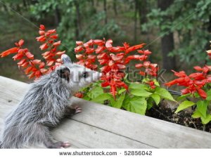Possum Sniffing Flowers